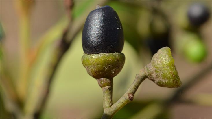 Image of a mature fruit of Ocotea pulchella