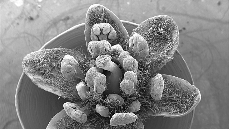 Scanning electron micrograph of a flower of Cinnamomum camphora