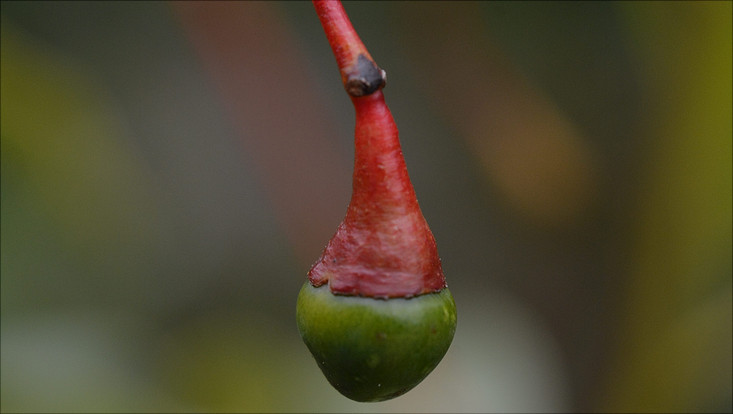 Image of a fruit of Aiouea saligna