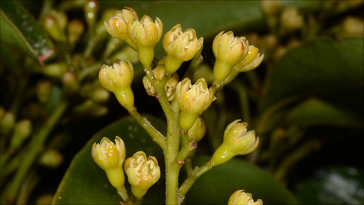 Image of a partial inflorescence of Cryptocarya aschersoniana