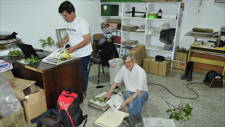 Image showing pressing newly collected plant material in the herbarium MBM