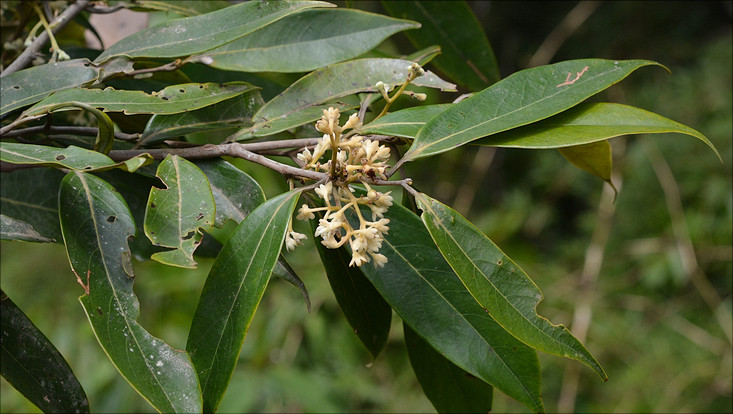Image of a flowering branch of Ocotea aciphylla