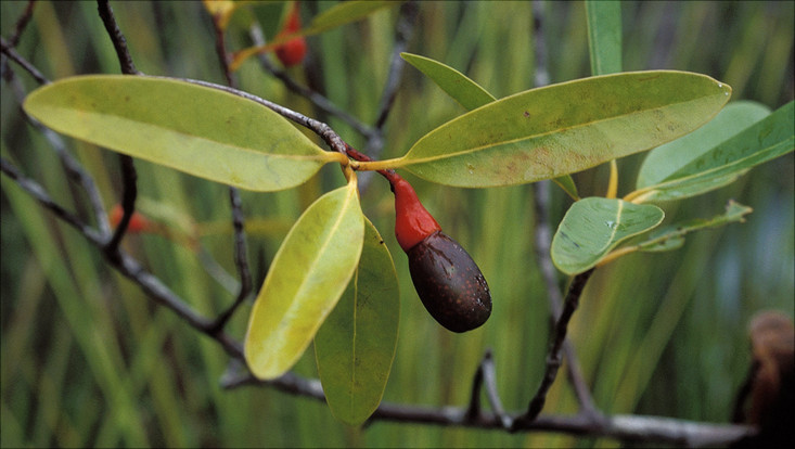 Image of a fruiting branch of Ocotea esmeraldana