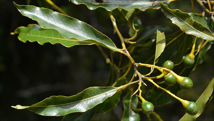 Image of a fruiting branch of Ocotea puberula