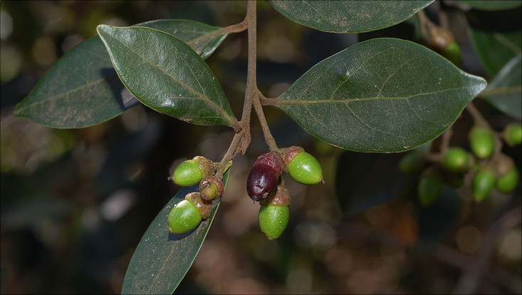 Image of a fruiting branch of Ocotea pulchella