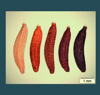 Bild zeigt Picris_hieracioides_Farbpalette