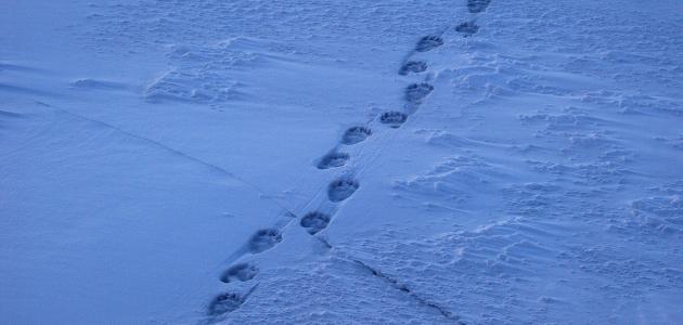 Ice bear tracks on sea ice.