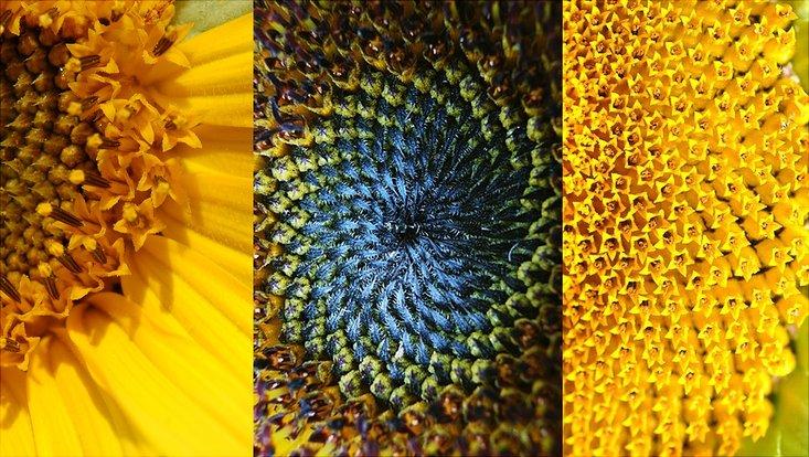 Bild zeigt eine Sonnenblume
