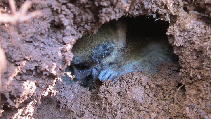 Lemur in Torpor  der sich im Erdreich eingegegraben hat