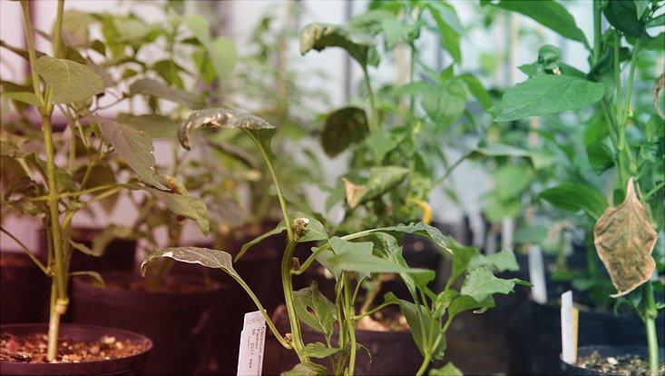 Pflanzen im Gewächshaus des Instituts für Pflanzenwissenschaften und Mikrobiologie.
