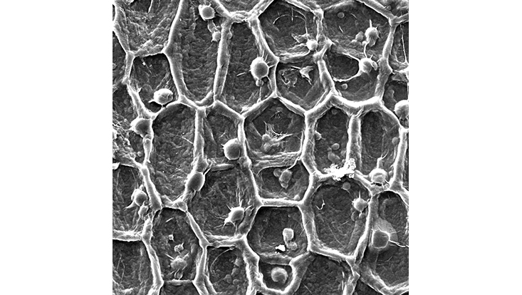Honeycomb? No way! Plants cells insides!