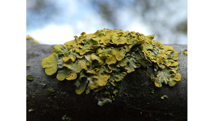 Two in one: Lichens, a symbiosis between algae and fungi