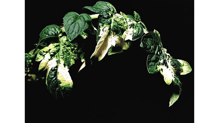 The Stunning Beauty of Plant Disease: Virus Vs Chlorophyll Synthesis