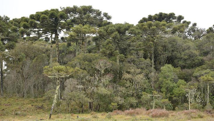 Foto eines Araucarienwalds (Araucaria angustifolia) mit Lorbeerwald als zweite Kronschicht
