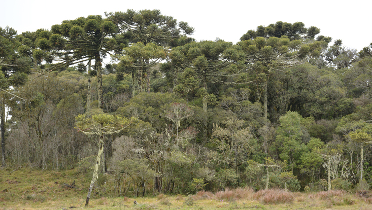 Photo of an Araucaria angustifolia forest, with laurel forest as second canopy stratum; near São Francisco de Paula, Rio Grande do Sul, Brazil