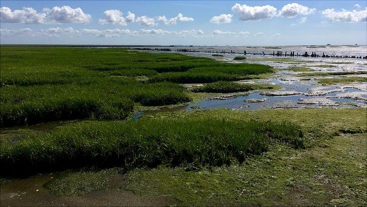Spartina-Pflanzen am Rand des Wattenmeeres