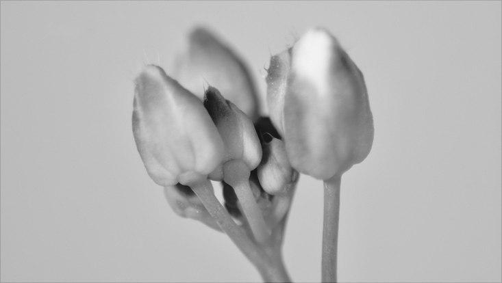 Knospe von Arabidopsis arenosa (4x)