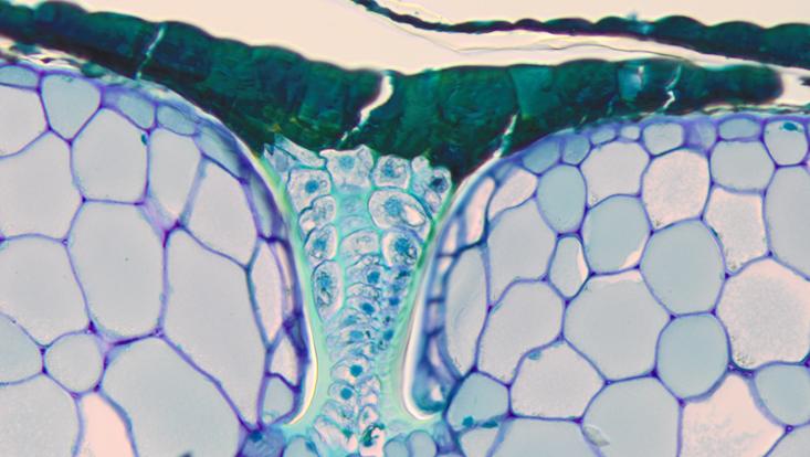 Lichtmikroskopisches Foto eines Querschnitts durch ein Rhizom von Davallia mauritiana, Außenschichten, mit Saugschuppe
