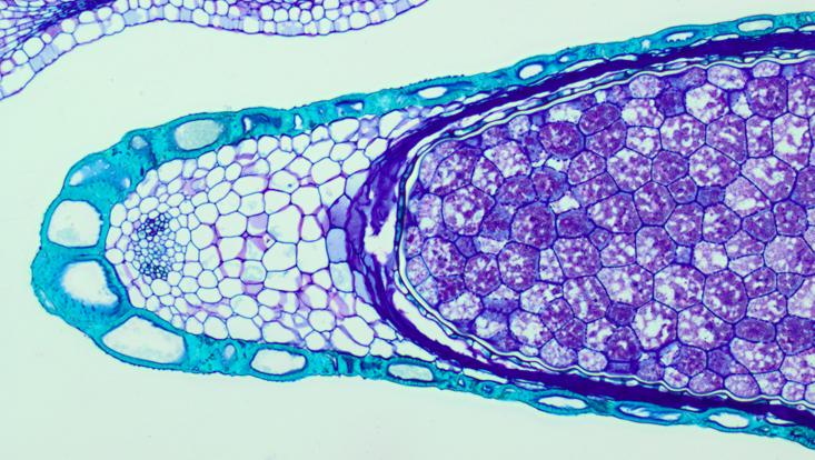Lichtmikroskopisches Foto eines Querschnitts durch einen Samen von Nymphoides peltata, Außenschichten, Embryo nicht angeschnitten