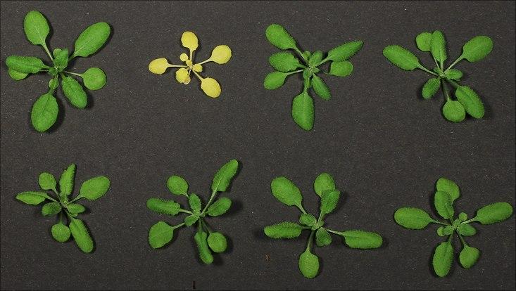 NLR-vermittelte Nekrose bei Pflanzen