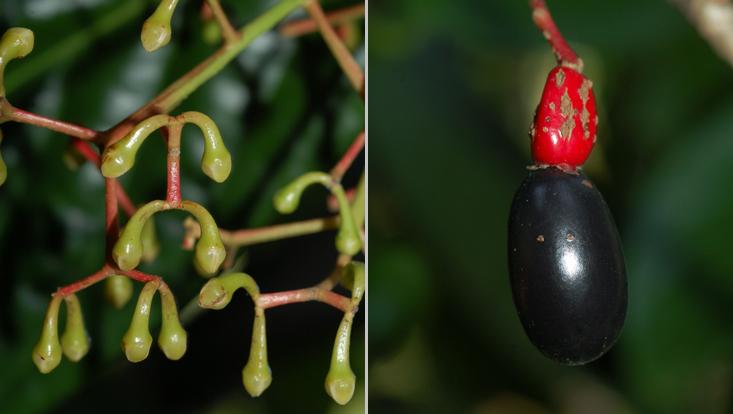 Fotos von Dehaasia incrassata, links Teil eines Blütenstandes, rechts reife Frucht