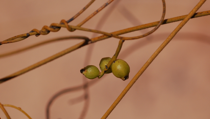 Photo of stems of Cassytha filiformis, with young fruits