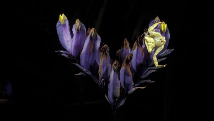 Foto eines Blütenstandes von Burmannia disticha, mit Krabbenspinne