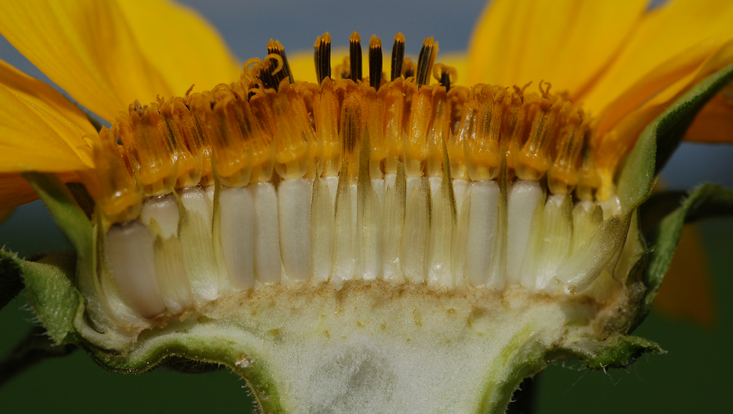 Photo of a capitulum of Helianthus annuus, split longitudinally