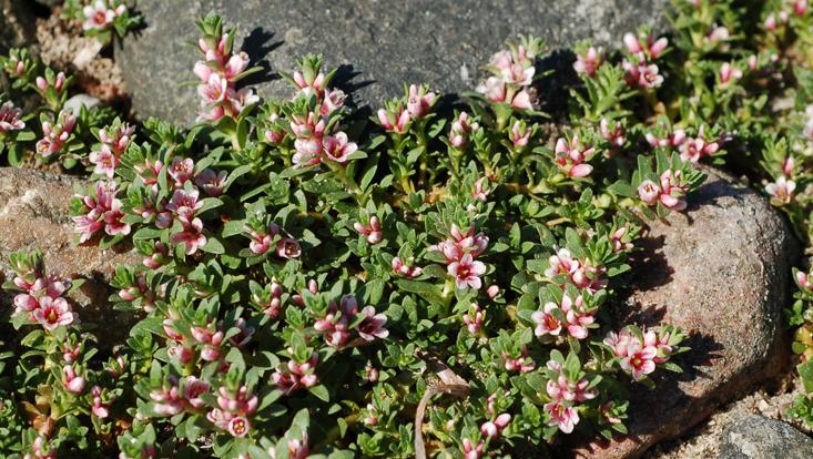 Foto von Glaux maritima, blühende Pflanzen