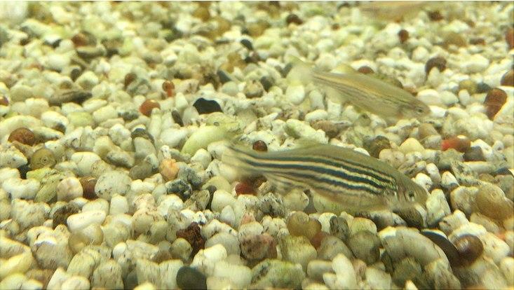 Adulte Zebrafische, circa 3 Monate alt