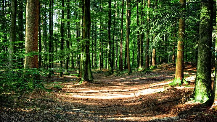 Wald mit grünen Bäumen und Laubboden