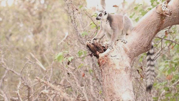 Ein Lemur auf einem Baum in Madagaskar.