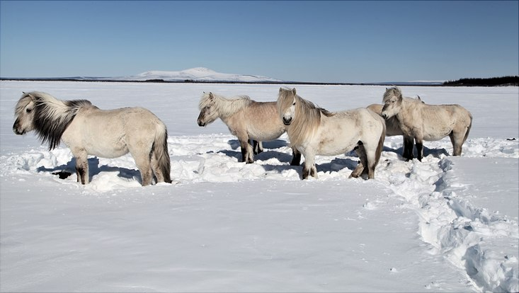 Horses in pleistocene park, siberia, yakutia, snow