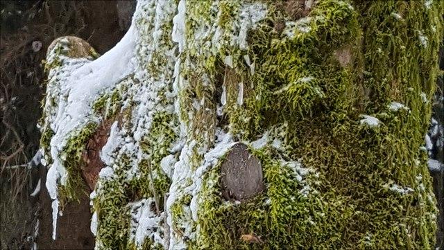 Moos mit Schnee