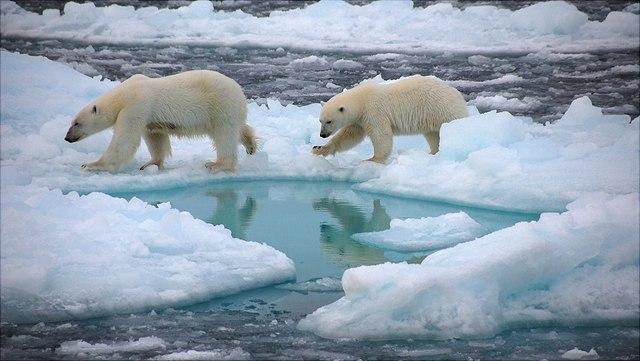 Zwei Eisbären auf Meereis