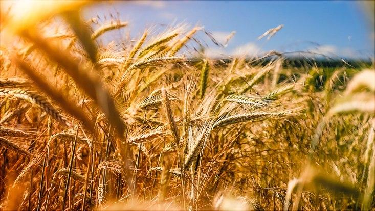 crops, field
