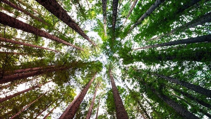 Hohe Baumkronen von unten fotografiert