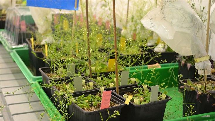 Arabidopsis thaliana - ein Helfer der Forschung