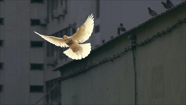 Eine weiße Taube fliegt vor einer grauen Mauer.