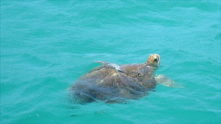 Eine Schildkröte schwimmt in türkisfarbenem Wasser