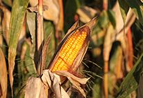 Switching to hardier crops like maize isn't something farmers can rapidly achieve.