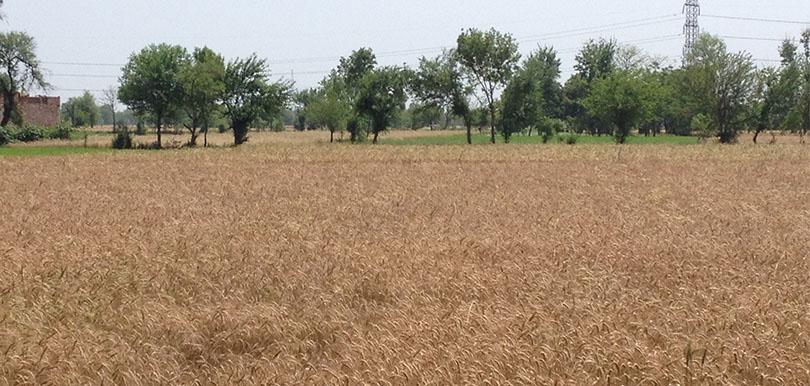 wheat crops