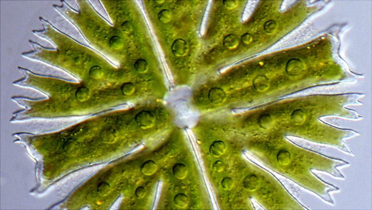 Darstellung von Algen aus der MZCH-Sammlung