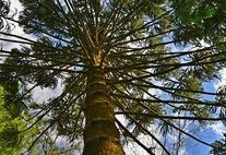 Araukarie (Paraná Pine) Brasilien