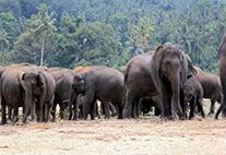 Das Bild zeigt asiatische Elefanten