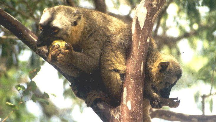 lemurevolution