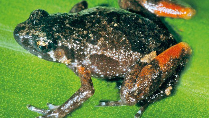 Stumffia nigrorubra