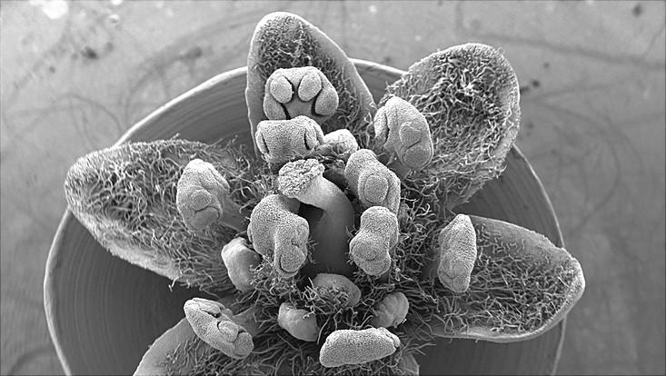 Bild einer Blüte von Cinnamomum camphora im Rasterelektronenmikroskop