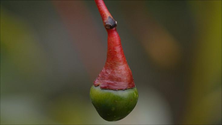 Bild der Frucht von Aiouea saligna