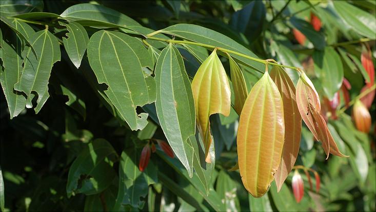 Bild eines Zweigs von Cinnamomum iners